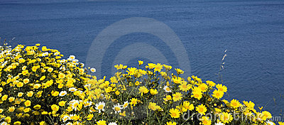 Yellow Daisy against blue sea