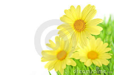 Yellow daisy close-up isolated