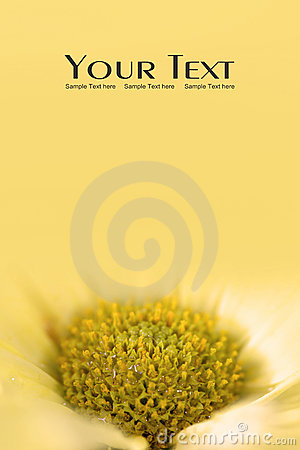 Yellow Daisy flower background