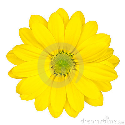 Yellow Daisy Flower with Green Center Isolated