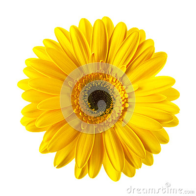Yellow daisy flower isolated