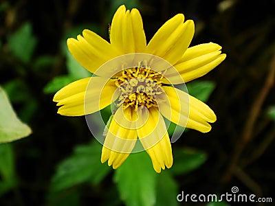 Yellow Daisy Flower Macro Close Up