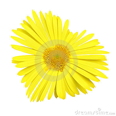 Yellow daisy heart