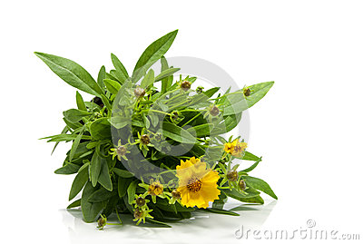Yellow daisy isolated on white