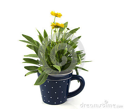Yellow daisy isolated on white in blue cup