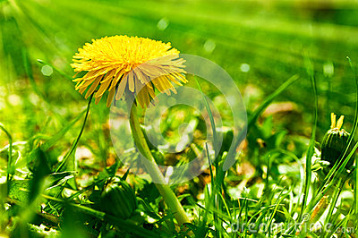 Yellow dandelion flower in a green grass