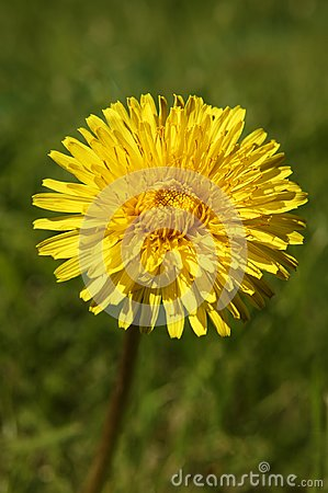 Free YELLOW DANDELION FLOWER IN GREEN GRASS Stock Images - 113483384
