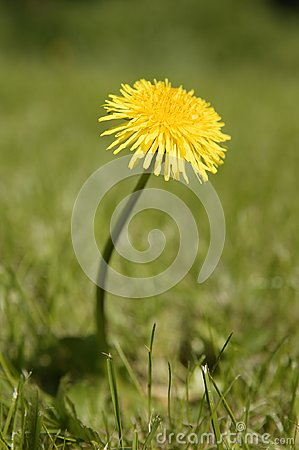 Free YELLOW DANDELION FLOWER IN GREEN GRASS Stock Photo - 113483420