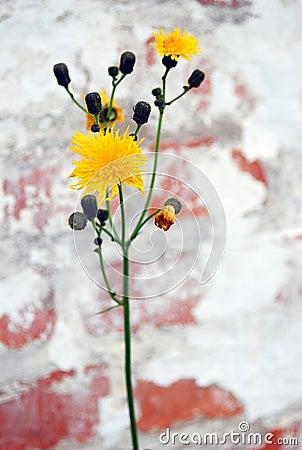 Yellow dandelion flower, red bricks wall