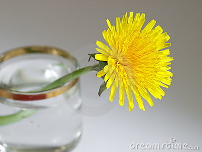 Yellow dandelion is in the glass with water.