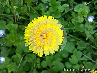 Yellow dandelion in a green field Stock Photo