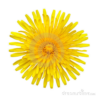 Free Yellow Dandelion - Taraxacum Officinale Isolated Royalty Free Stock Image - 15251556