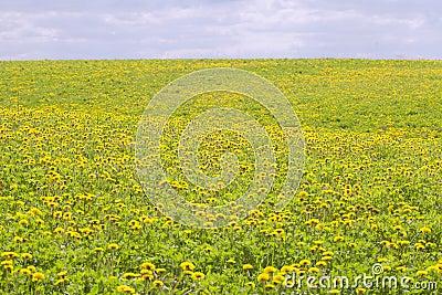 Yellow dandelions.