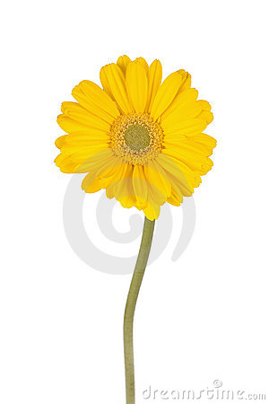 Free Yellow Diaisy With A Long Stem Royalty Free Stock Images - 2629729