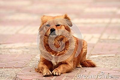Yellow dog rest