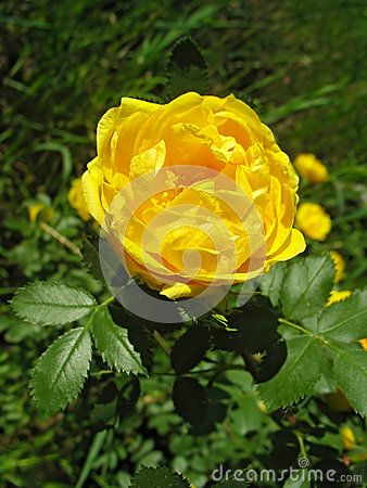 Yellow dog-rose flower