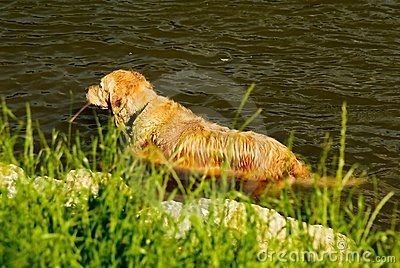 Yellow dog in the water