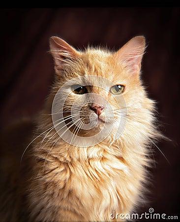 Yellow domestic cat