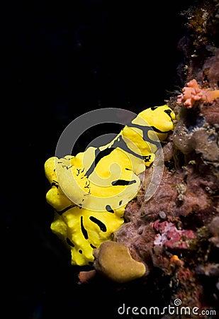 Free Yellow Dorid Nudibranch Royalty Free Stock Images - 18478249