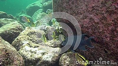 Yellow-dotted butterflyfish Chaetodon selene in Los Isoletes island Cortez sea La Paz stock video footage