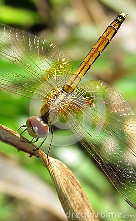 Free Yellow Dragonfly Up-close Stock Photo - 103451760
