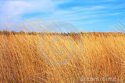 Yellow dry grass field and blue sky