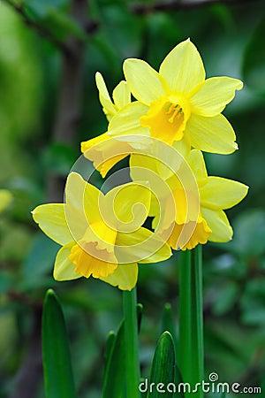 Yellow dwarf trumpet daffodils