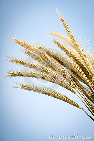 Free Yellow Ears Of Wheat Royalty Free Stock Photos - 30613108
