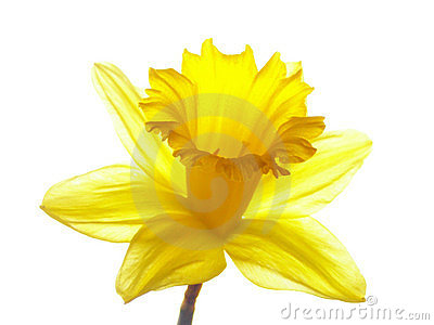 Yellow Easter Daffodil Stock Photos - Image: 552673