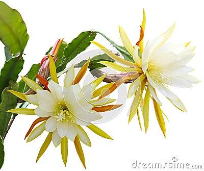Yellow epiphyllum Flower