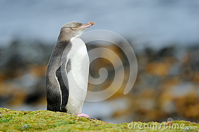 Yellow Eyed Penguin Baby
