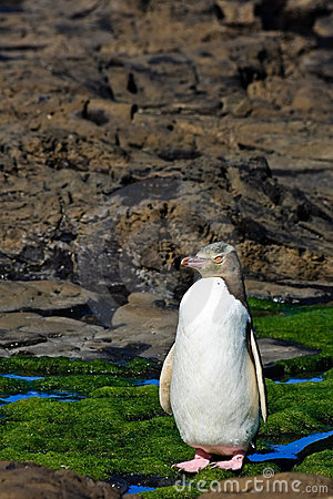 Yellow Eyed Penguin Posing