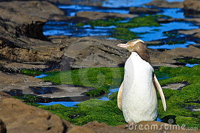 Yellow Eyed Penguin Profile