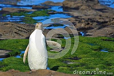 Yellow Eyed Penguin Says Hi