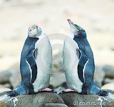 Free Yellow-eyed Penguins Stock Image - 24060231