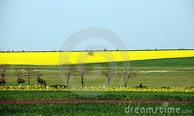 Yellow field of canola