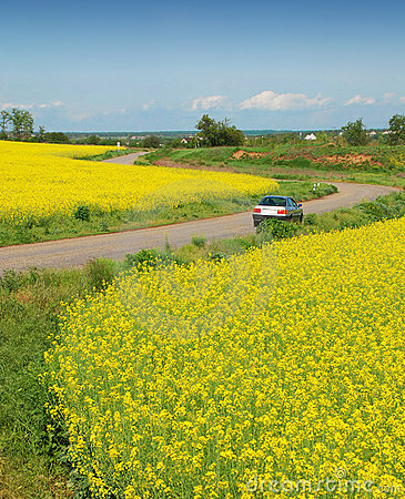 Yellow field of rape and car