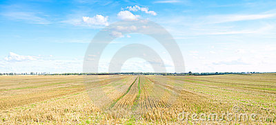 Yellow field of wheat cuted under midday sun.