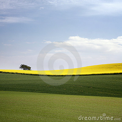 Free Yellow Field With Oil Seed Rape In Early Spring Stock Photo - 5171660