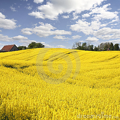 Free Yellow Field With Oil Seed Rape In Early Spring Stock Photos - 5172593