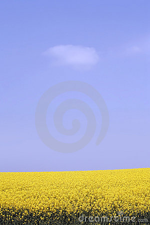 Free Yellow Field With Oil Seed Rape In Early Spring Stock Photos - 5182383