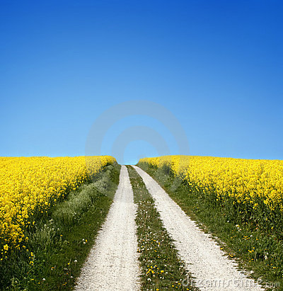 Free Yellow Field With Oil Seed Rape In Early Spring Stock Photo - 5247360