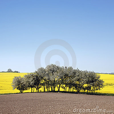Free Yellow Field With Oil Seed Rape In Early Spring Stock Photo - 5248260