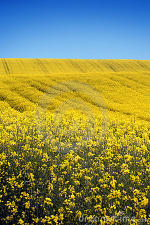 Free Yellow Field With Oil Seed Rape In Early Spring Stock Photography - 5254002