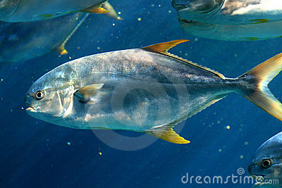 Yellowfin Tuna Royalty Free Stock Images - Image: 17126589