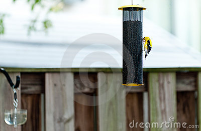 Yellow finch on bird feeder