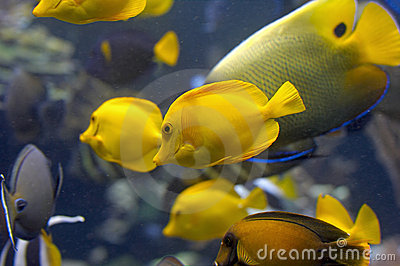 Yellow Fish In Tank Royalty Free Stock Photo Image 2270465