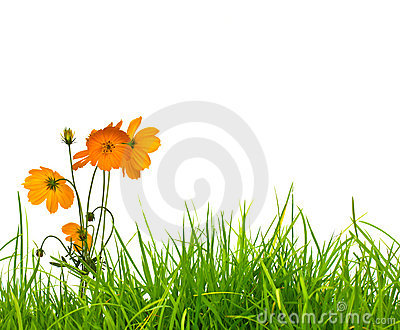 Yellow flower(Cosmos) and fresh spring green grass