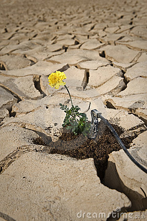 Yellow flower cracked soil irrigation