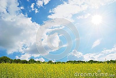 Yellow Flower field, blue sky and sun.